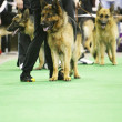 Dog exhibition — Stock Photo