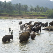 Stock Photo: Elephants bathing