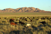 Herd of goats in Mongolian prairie — Stock Photo