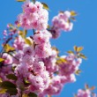 Spring cherry flowers — Stock Photo #10473189