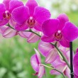 Orchid — Stock Photo #10504170