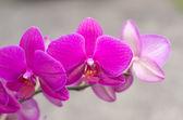 Orchid — Foto de Stock