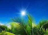 Дерево пальмы — Стоковое фото