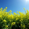 Rape field — Stock Photo #8589822