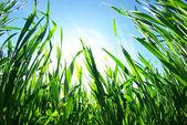 Yeşil çim — Stok fotoğraf