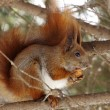 Squirrel — Stock Photo #8995100