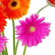 Colorful gerberas — Stock Photo