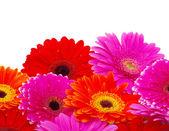 ガーベラの花 — ストック写真