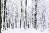 Winter forest — Stok fotoğraf