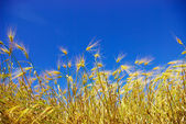 Wheat on blue sky — Stock Photo
