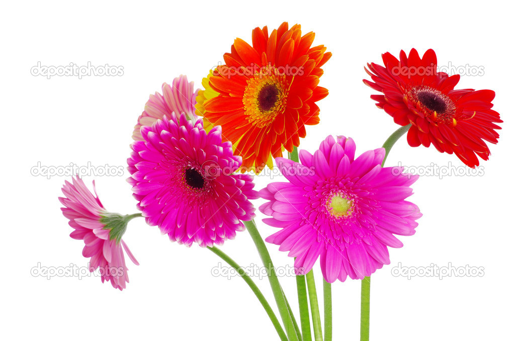 Colorful gerberas on white background — Stock Photo #9124729