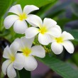 Frangipani flowers - Photo