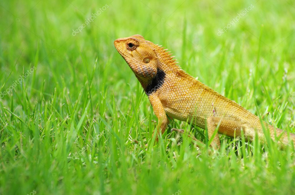 Lizard strolling in the grass — Stock Photo #9489929