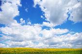 Ayçiçeği alan — Stok fotoğraf