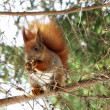 Squirrel — Stock Photo #9853986