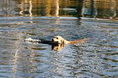 Swimming Golden retriever — Stock Photo