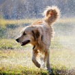 Wet Golden retriever dog — Stock Photo