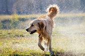 Wet Golden retriever dog — Stock Photo