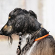 Afghan dog portrait — Stock Photo