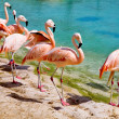 Stock Photo: Pink flamingos