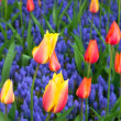 Tulips with hyacinths — Stock Photo