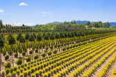 Tree farm in Italy — Stock Photo