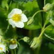 Green blooming strawberry, white flowers — Stock Photo