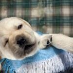 Sleeping dog — Stock Photo #10725783
