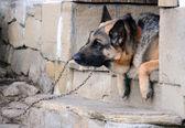 Portrait of German Shepherd — Stock Photo
