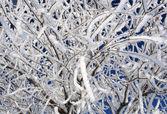 Closeup Snowy Twigs — Stock Photo