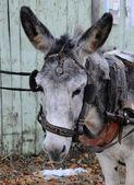 Portret van grijze ezel — Stockfoto