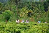 çay toplayıcılar iş başında — Stok fotoğraf