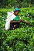 Seletor de chá na plantação de — Foto Stock