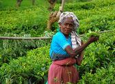çay plantasyon görevli — Stok fotoğraf