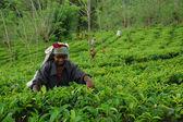 Lady Tea Worker At The Tea Plantation — Stock Photo