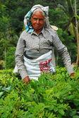 Gümüş saçlı çay seçici — Stok fotoğraf