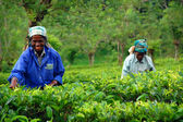 Tea Pickers At The Tea Plantation — Stock Photo