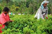 采茶的妇女 — 图库照片