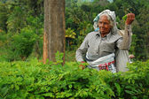 Aged Tamil Tea Worker — 图库照片