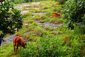 Коровы на скалистом холме — Стоковое фото