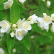 Stock Photo: Beautiful blossoming branch of jasmine