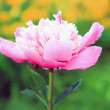 Peony flower after rain — Stock Photo