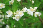 Beautiful blossoming branch of jasmine — Stock Photo