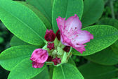 Blooming Pink Rhododendron — Stock Photo