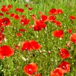 Poppies on green field — Stock Photo #10544155