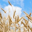 Stock Photo: Gold wheat field