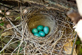 Five blue eggs in the nest — Stock Photo