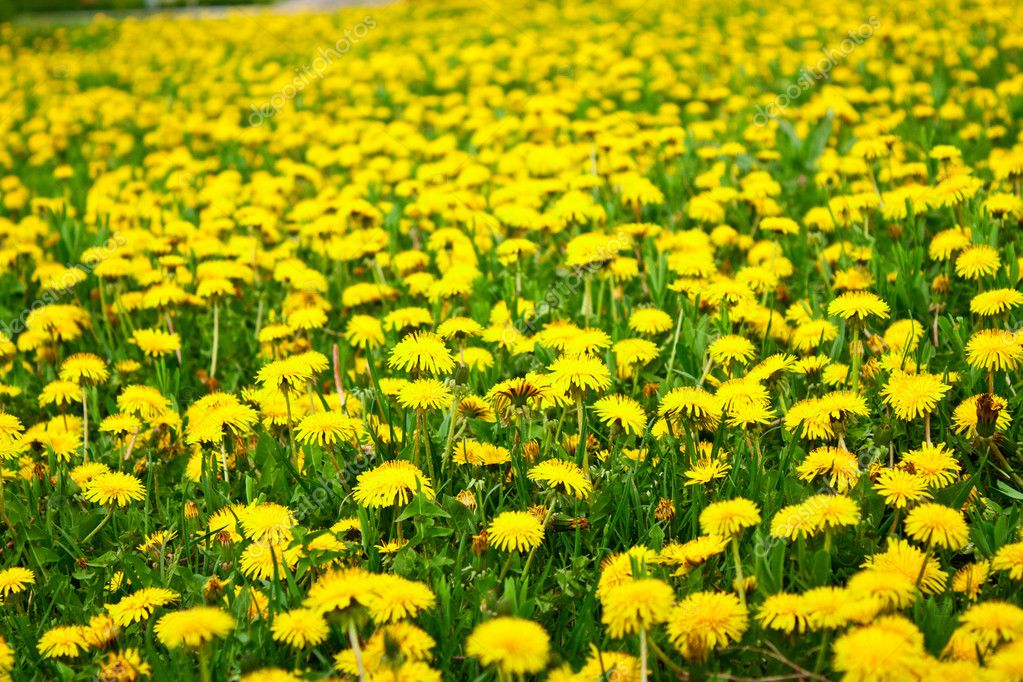 Field of dandelions  Stock Photo #8544818
