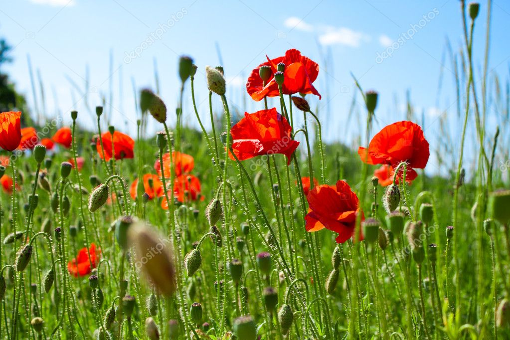 Poppies on green field — Stock Photo #8544825