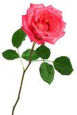Single pink rose — Stock Photo